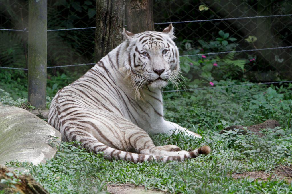 O tigre é um dos animais que mais encantam os visitantes. Foto:  José Cordeiro/SPTuris